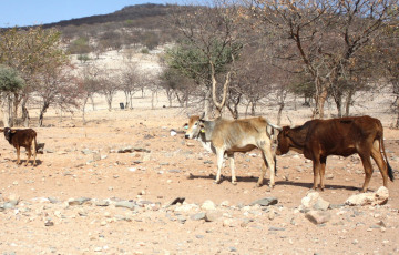 Government considering drought emergency declaration